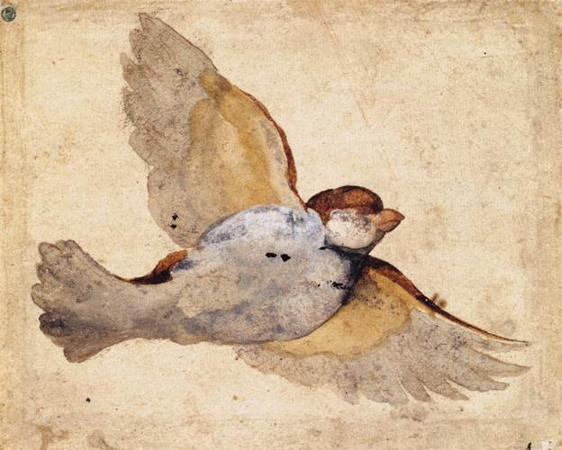 Study of a Flying Sparrow, c 1515-1520, by Giovanni da Udine